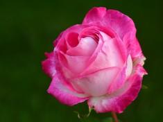 rose-2892821_960_720